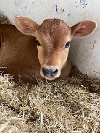 Picture for category Calves
