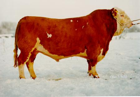 Billede til varegruppe Kødkvægs tyre til krydsning
